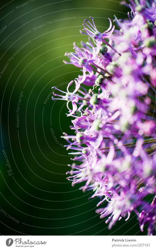 Nature Beautiful Green Plant Summer Blossom Environment Circle Violet Blossoming Illuminate Brilliant Semicircle