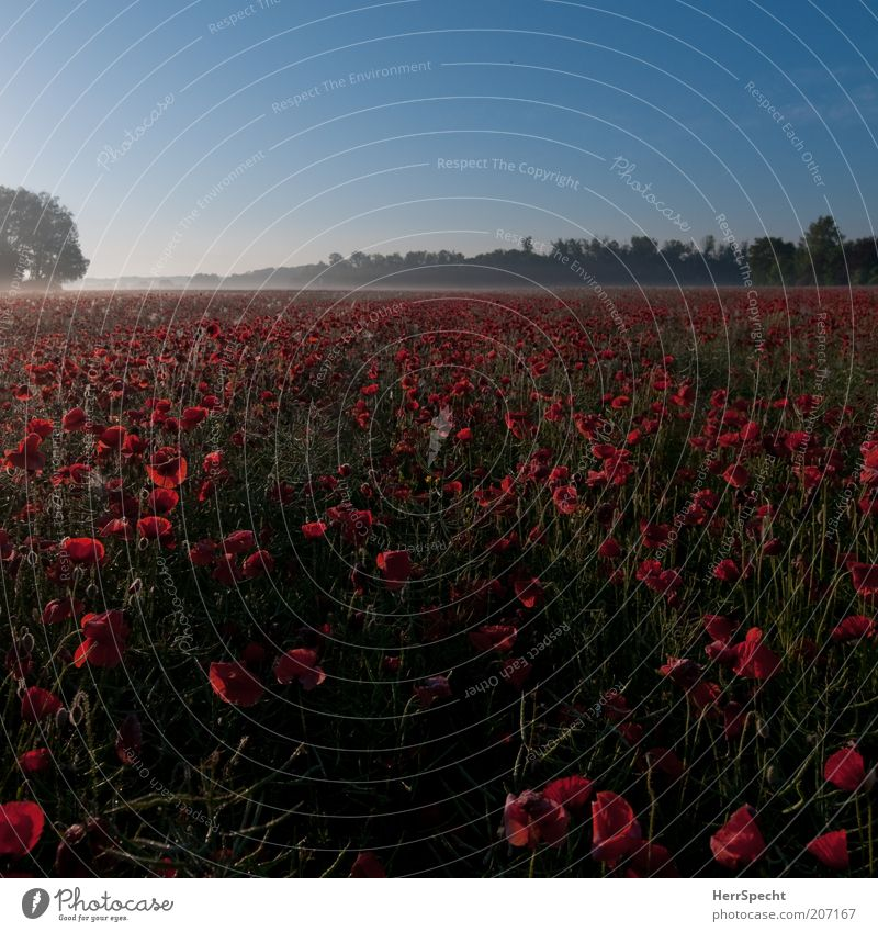 morning poppy Landscape Plant Cloudless sky Summer Beautiful weather Agricultural crop Poppy Field Blue Green Red Calm Horizon Dawn Far-off places Fresh