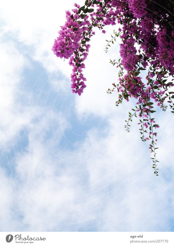 bougainvillea Summer Nature Plant Beautiful weather Bougainvillea Blossoming Hang Elegant Exotic Blue Violet White Blue sky Clouds Clouds in the sky