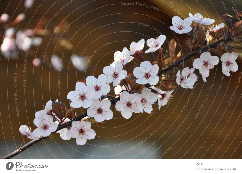 Nature Beautiful White Plant Blossom Spring Pink Environment Esthetic Delicate Twig Blossom leave Cherry blossom Brownish Ornamental cherry