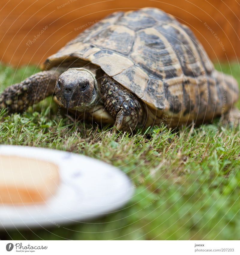 Your own house in the countryside Grass Animal Pet Petting zoo 1 Old Movement Discover Feeding Looking Brown Green Turtle Tortoise-shell Appetite Slowly