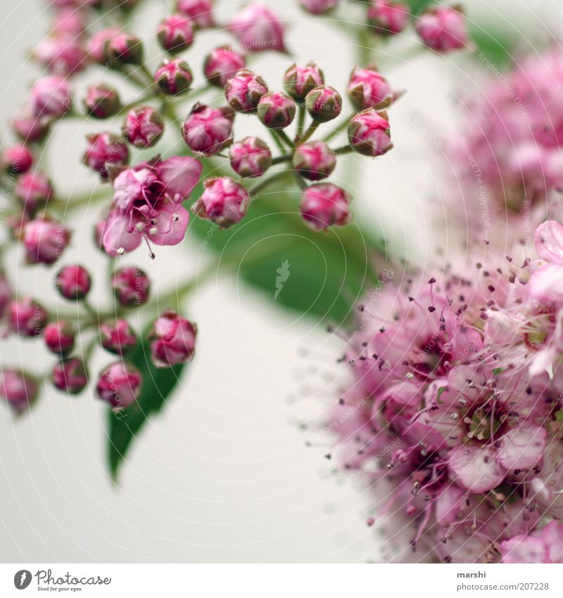 thriving Nature Spring Summer Plant Flower Bushes Blossom Green Pink Blossoming Small Bud White Colour photo Blur Graceful Delicate Blossom leave Pistil