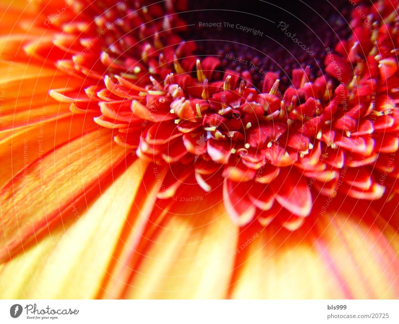 Gerbera-2 Macro (Extreme close-up) Flower Plant Nature