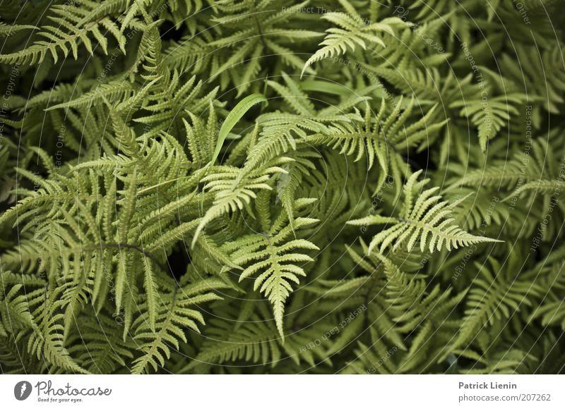 Nature Green Plant Summer Calm Environment Fresh Point Muddled Fern Fern leaf