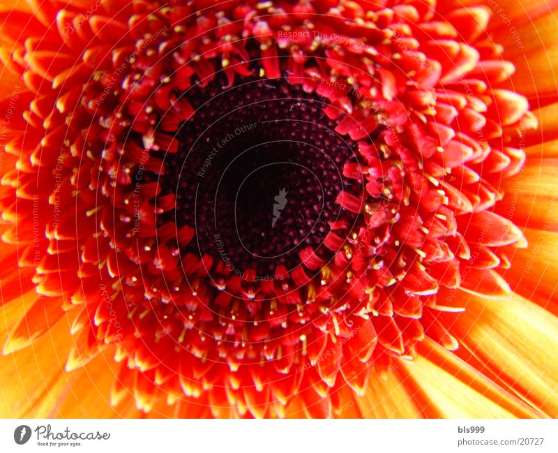 Gerbera-3 Macro (Extreme close-up) Flower Plant Nature