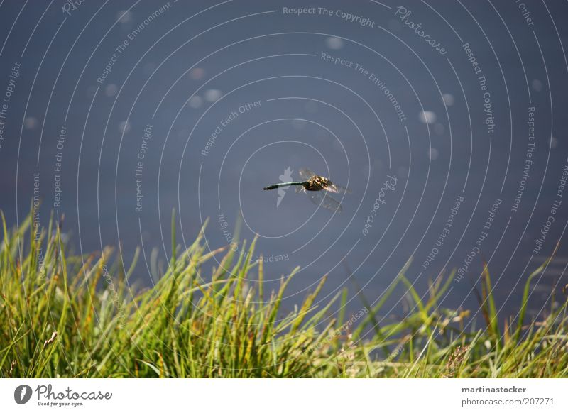 dragonfly Freedom Summer Nature Plant Animal Water Beautiful weather Grass Foliage plant Lakeside Pond Flying Natural Speed Blue Green Dragonfly wings