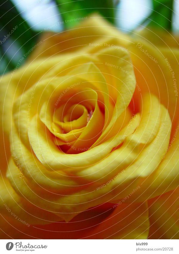 Rose whisper 2 Yellow Macro (Extreme close-up) Flower Plant Nature