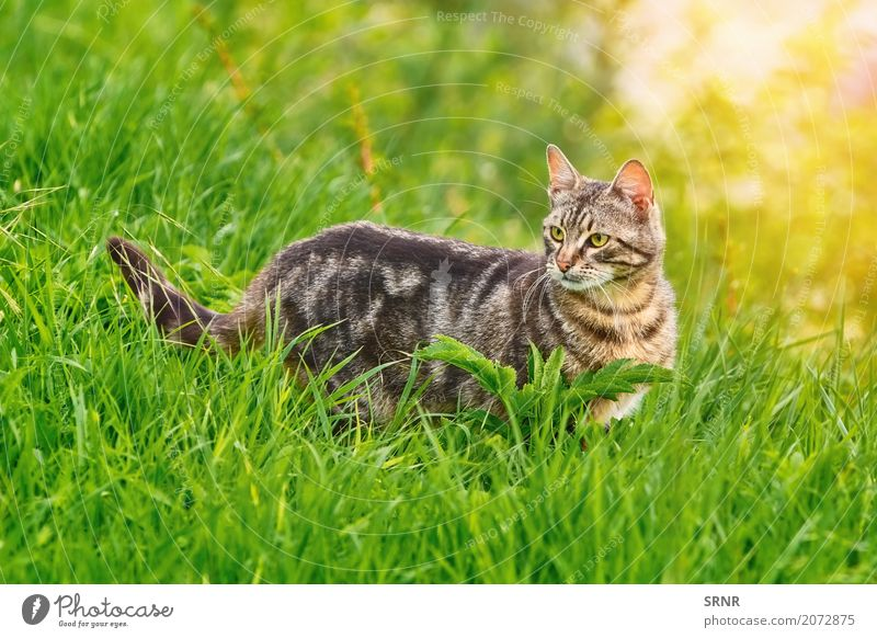 Cat in Grass Environment Nature Animal Short-haired Pet Stand carnivorous Domestic Domestic cat housecat domesticated felid Wild cat semi-feral Mammal outbred
