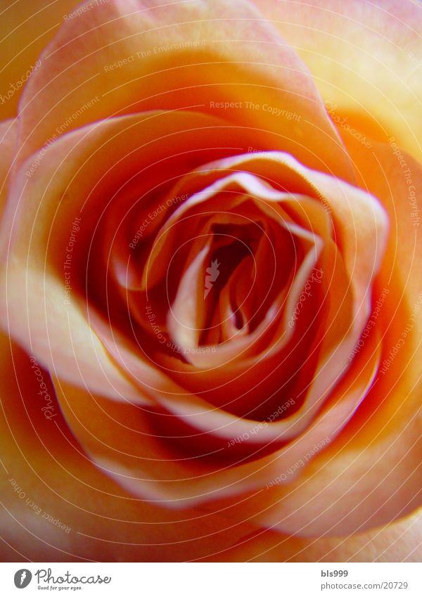 Nature Flower Plant Rose