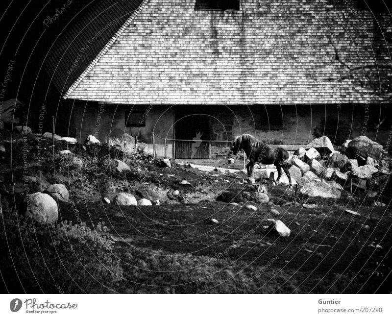 Old White Vacation & Travel Animal Black Meadow Stone Natural Horse Roof Farm Historic Tradition Black & white photo Farm animal Roofing tile