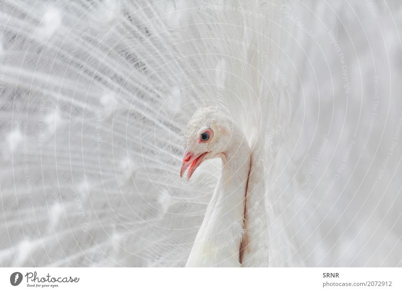 Portrait Of The Peacock Nature Bird Wild Albino peacok tail avian avifauna ceremony courtship display courtship ritual covert featheranimal covert feathers