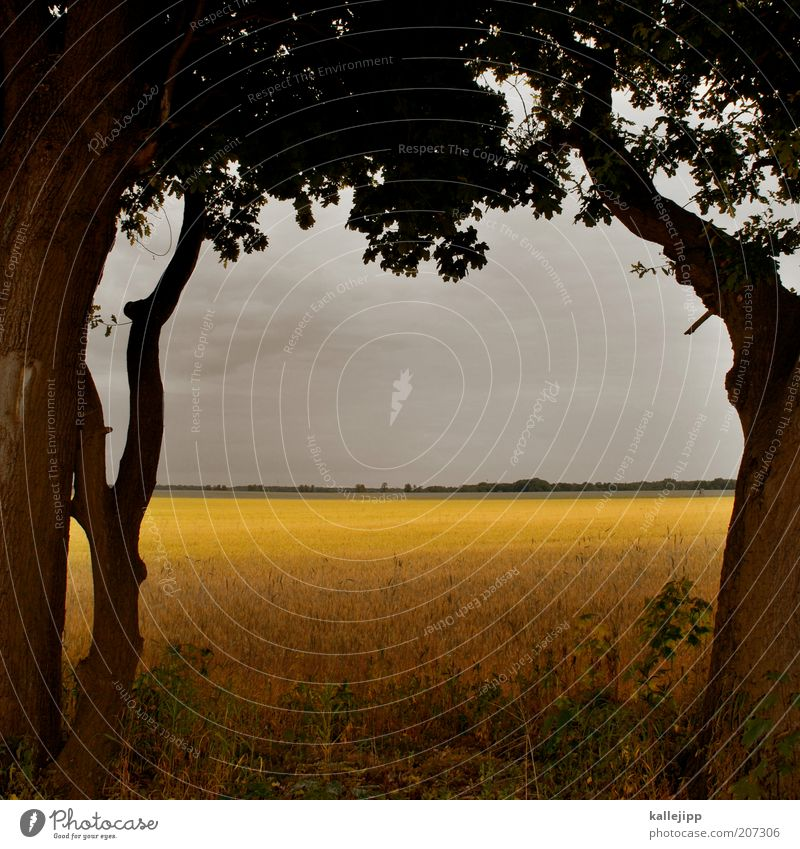 on nature Economy Environment Nature Landscape Plant Sky Clouds Storm clouds Summer Climate Thunder and lightning Tree Agricultural crop Field Yellow Gold Calm