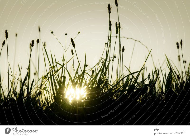 saturday Nature Landscape Plant Sun Spring Summer Beautiful weather Warmth Grass Plantain Meadow Pasture Lawn Blade of grass Stalk Bud Seed Dark Bright