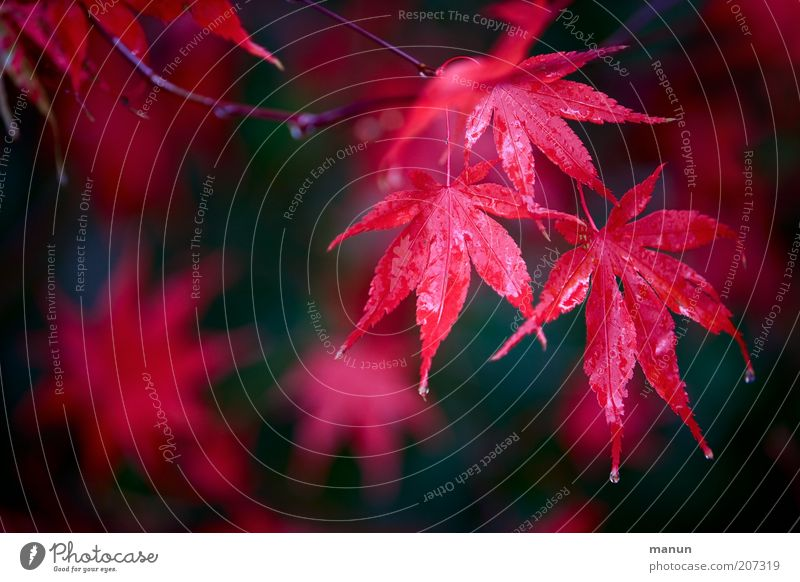 Nature Beautiful Red Leaf Autumn Rain Fresh Bushes Drops of water Branch Wet Autumn leaves Autumnal Maple leaf Maple tree Autumnal colours