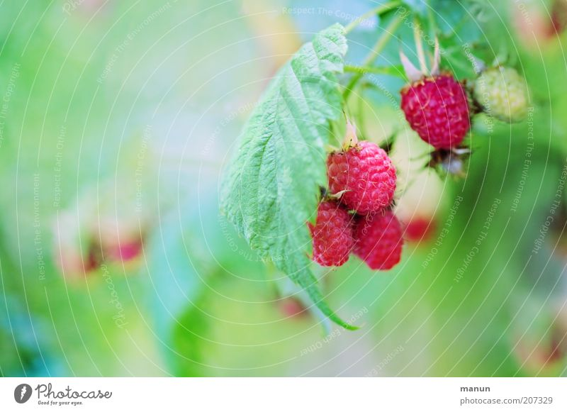 Himbi Food Fruit Nutrition Organic produce Vegetarian diet Raspberry Biological Nature Summer Plant Bushes Leaf Agricultural crop Wild plant Healthy Good