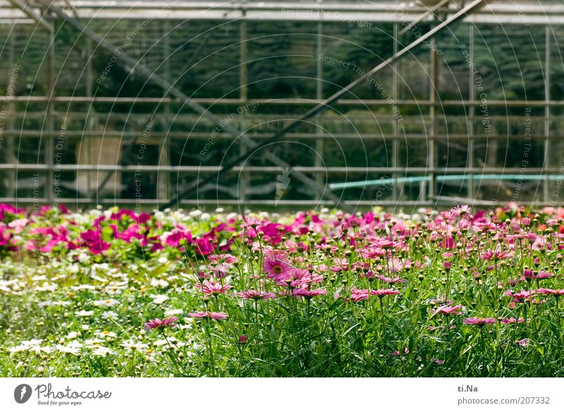 Flower Green Plant Summer Spring Building Architecture Pink Bushes Blossoming Fragrance Manmade structures Many Beautiful weather Greenhouse Agricultural crop