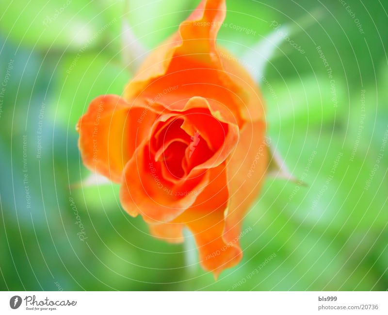 Nature Flower Plant Orange Rose