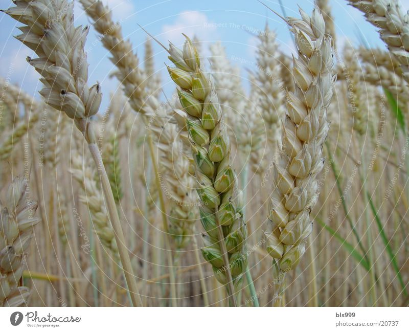 Nature Field Oats
