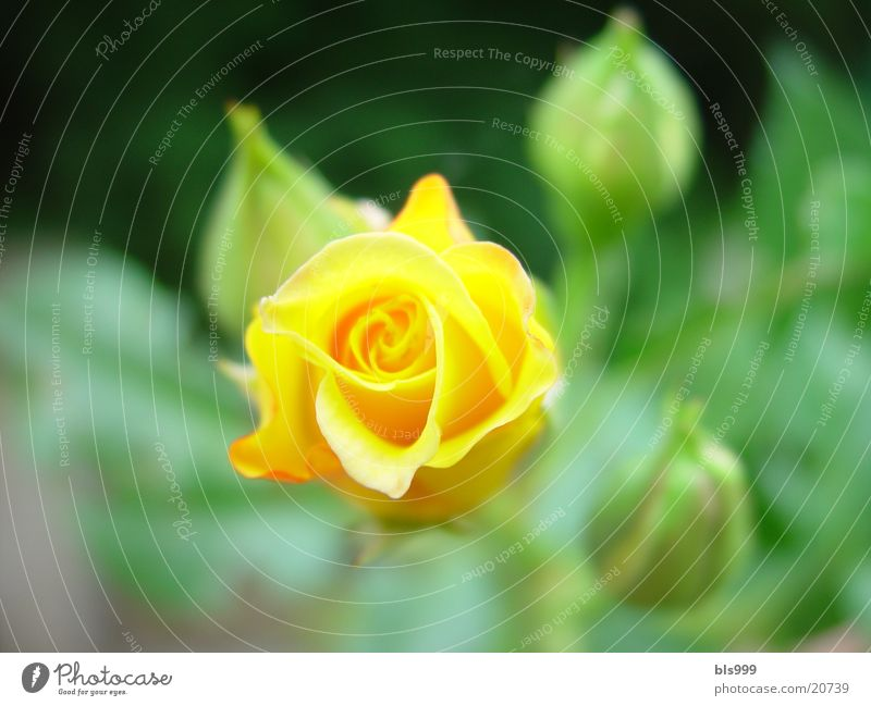 Nature Flower Yellow Garden Rose