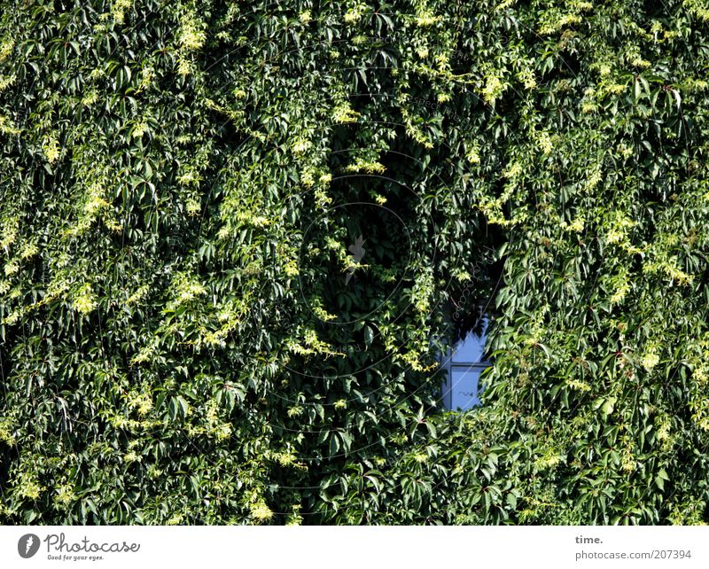 Organic rages House (Residential Structure) Environment Nature Plant Ivy Facade Window Growth Natural growth Grown Creeper Hollow visual impairment Tendril