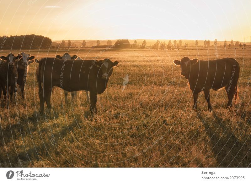 In the evening sun Animal Pet Farm animal Cow Animal face Pelt Group of animals Herd To feed Colour photo Multicoloured Exterior shot Deserted Copy Space top