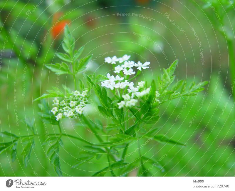 Nature Flower Garden Medicinal plant Chervil