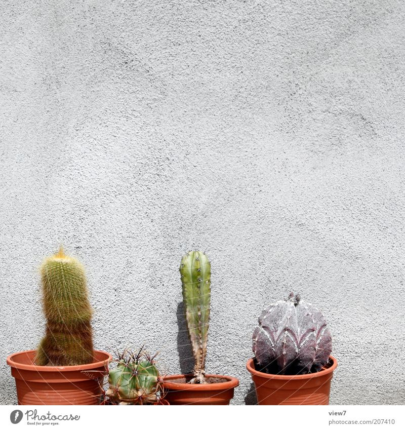 Cactus breeder N. Plant Wall (barrier) Wall (building) Facade Old Esthetic Authentic Thin Simple Sustainability Beautiful Flowerpot Colour photo Exterior shot