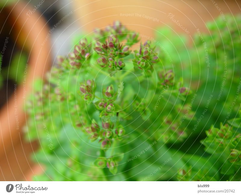 Plant Garden Medicinal plant Marjoram