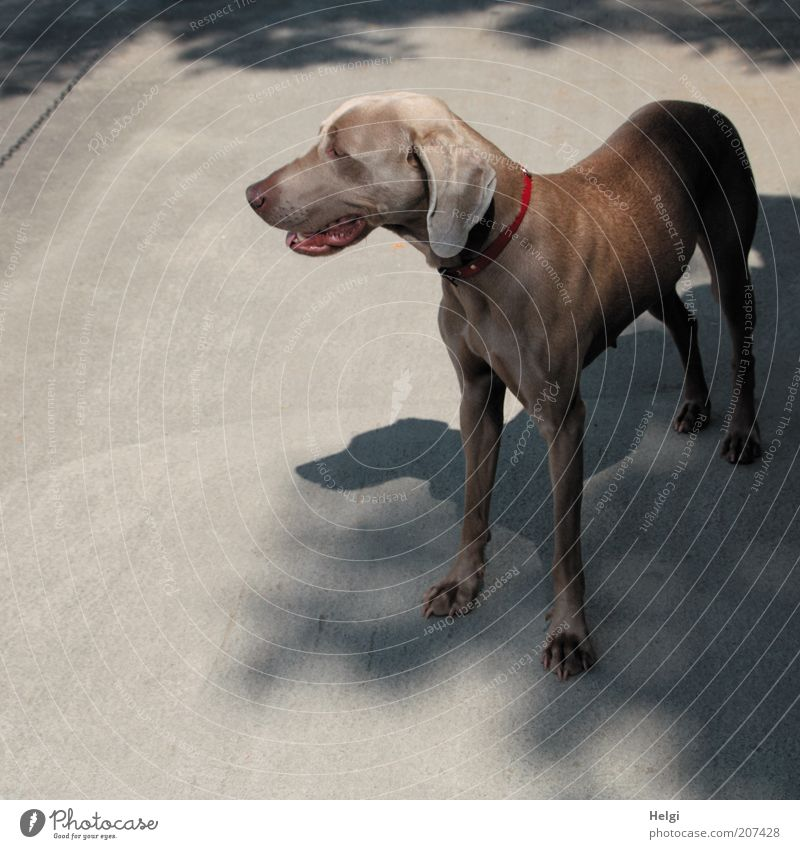 Dog Beautiful Red Summer Animal Calm Gray Head Brown Wait Natural Esthetic Stand Uniqueness Observe Pelt