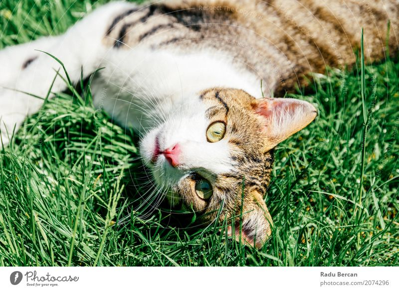 Portrait Of Cute Domestic Tabby Cat Playing In Grass Nature Plant Summer Colour Green White Animal Environment Emotions Meadow Funny Small Happy Garden