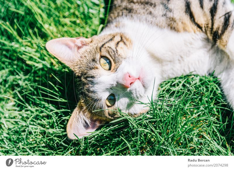 Portrait Of Cute Domestic Tabby Cat Playing In Grass Nature Summer Colour Green White Animal Joy Environment Meadow Funny Small Happy Garden