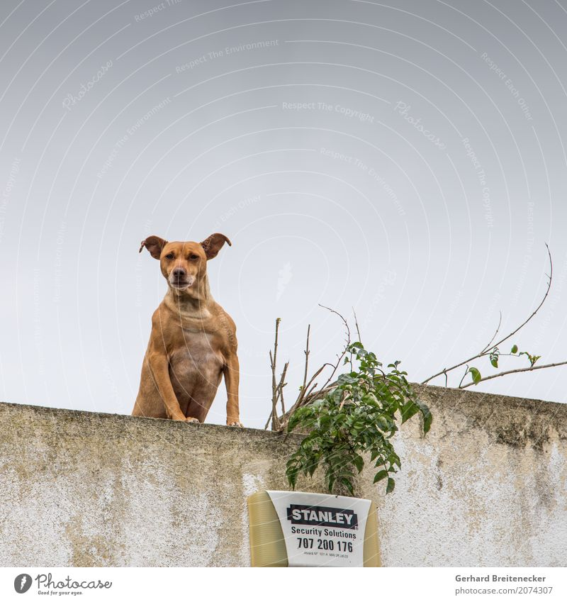 Call Stanley Animal Dog 1 Aggression Strong Self-confident Power Safety Watchfulness Hatred Argument gallery Colour photo Subdued colour Exterior shot