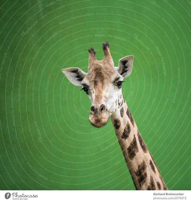 High animal Animal Wild animal Giraffe 1 Brash Watchfulness Curiosity Fear of heights Serene Pride gallery Colour photo Exterior shot Copy Space left