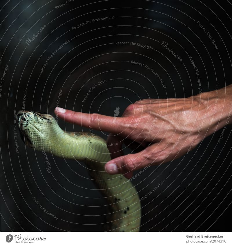 snakes Hand Fingers Animal Snake Willpower Trust Dangerous Testing & Control Brave gallery Colour photo Copy Space top Neutral Background Shallow depth of field