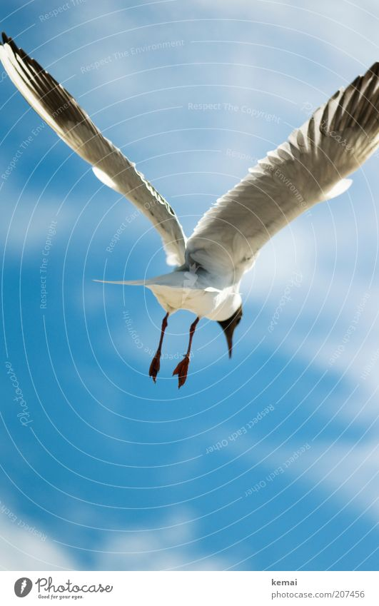 Peace Gull Environment Nature Sky Clouds Sunlight Summer Climate Beautiful weather Baltic Sea Ocean Animal Wild animal Bird Wing Feet Beak Feather 1 Flying Blue