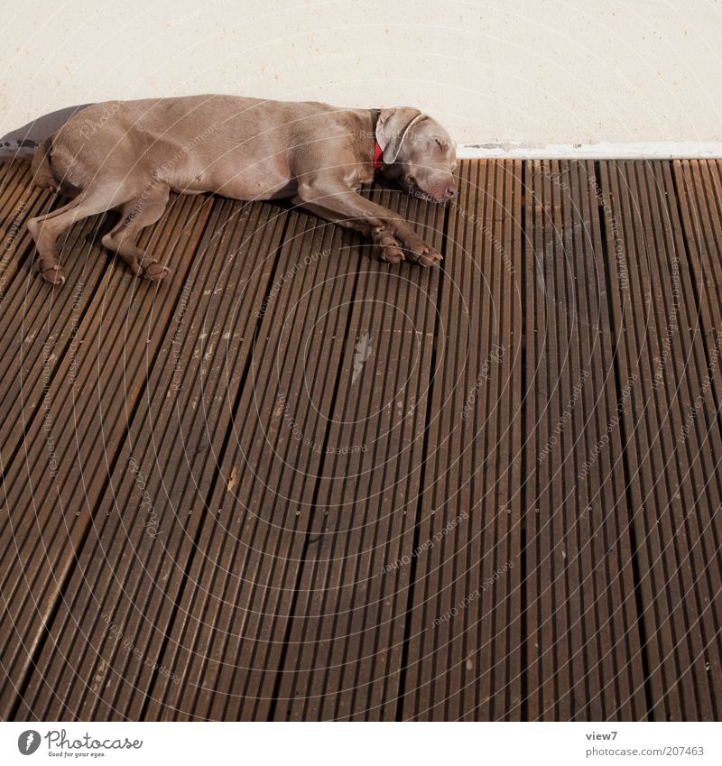 Sunday Animal Pet Dog 1 Wood Lie Sleep Dream Living or residing Esthetic Thin Simple Brown Contentment Love of animals Boredom Fatigue Exhaustion