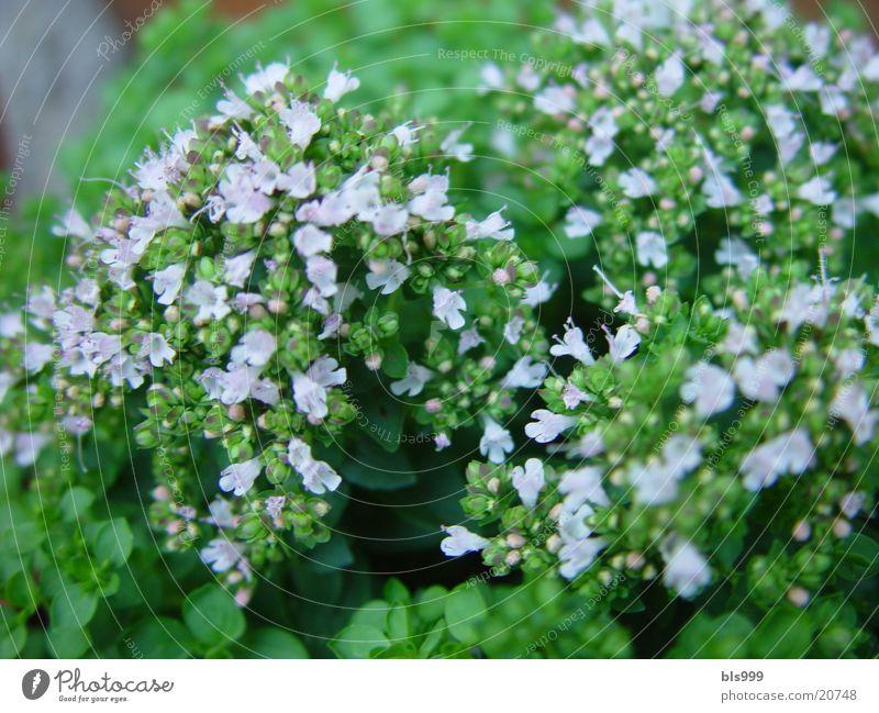 Nature Garden Medicinal plant Marjoram