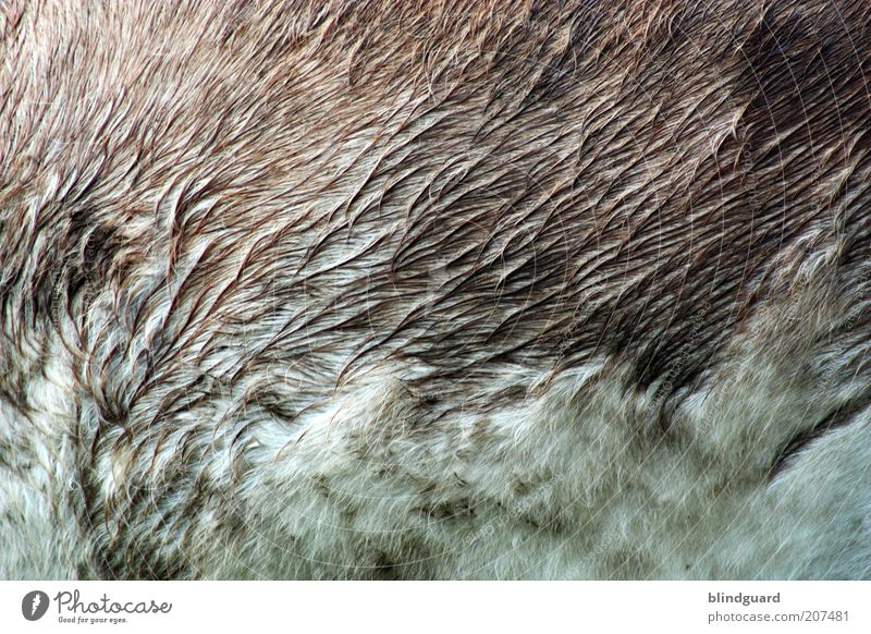 Wet Donkeyhair Animal Pet Farm animal Pelt Petting zoo 1 Stand Natural Brown Gray White Damp Soft Structures and shapes Colour photo Exterior shot Detail
