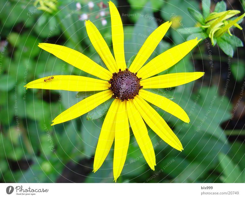 sun hat Flower Plant Yellow Garden Macro (Extreme close-up)