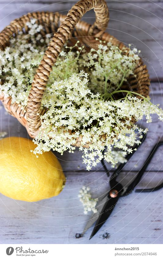 elderflower harvest Elder Elderflower Self-made Syrup Lemon Summer Spring Nature Blossom White Yellow Basket Scissors Cut Harvest Pick Make Apiaceae Forest