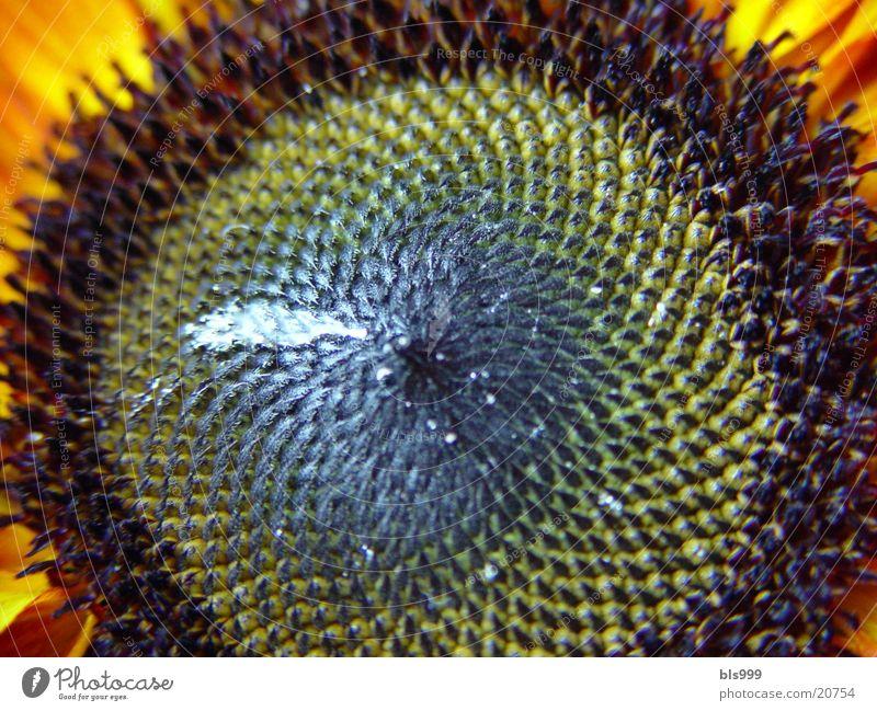 flower eye Sunflower Flower Summer Nature Plant Garden