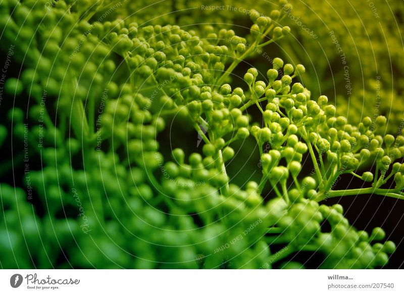 the pearl maker Nature Plant Bushes Green Immature Berries Twig Apiaceae Umbellifer Blur Colour photo Exterior shot