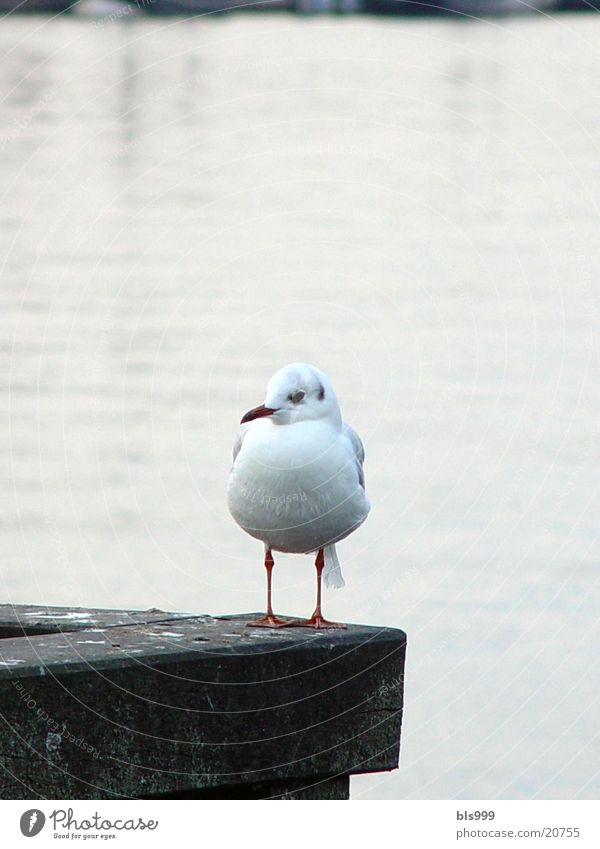 Stable Seagull Ocean Animal Transport Harbour Baltic Sea North Sea