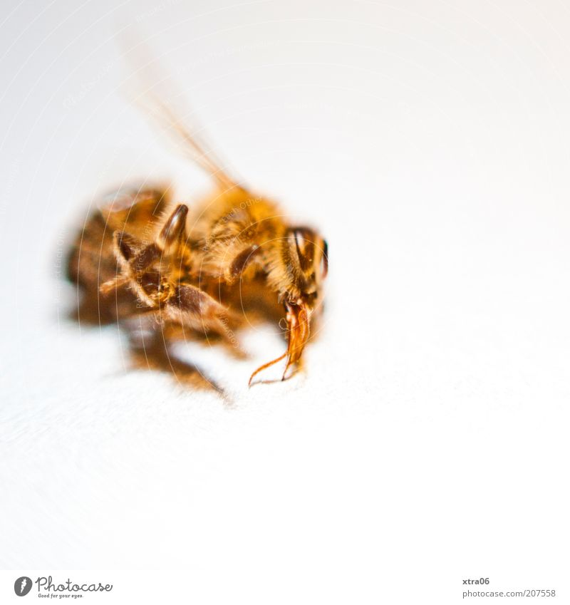 White Animal Yellow Death Legs Gold Wing Insect Macro (Extreme close-up) Wasps Copy Space Mortal agony Dead animal