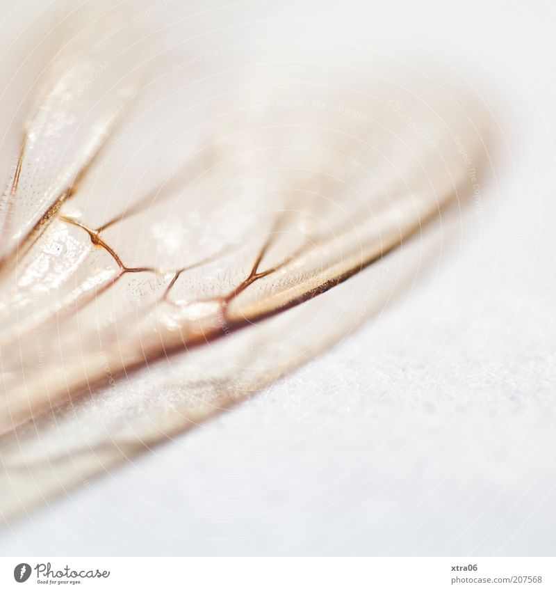White Animal Esthetic Wing Insect Delicate Macro (Extreme close-up) Fine Fragile