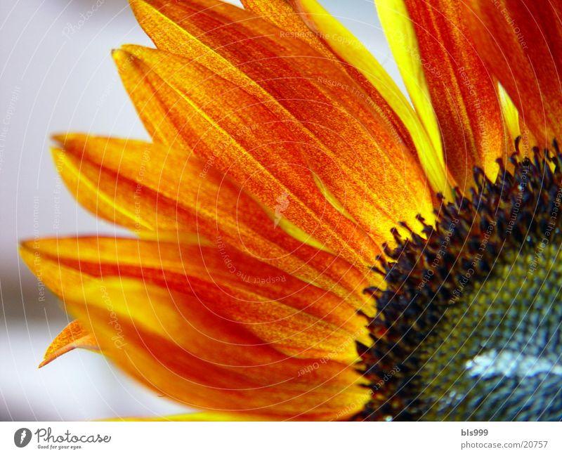 Nature Plant Yellow Brown Sunflower Flower