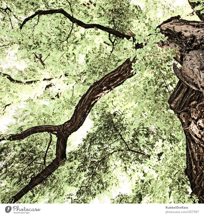 Nature Old White Tree Green Summer Brown Environment Esthetic Branch Treetop Leaf Twig Abstract Leaf canopy