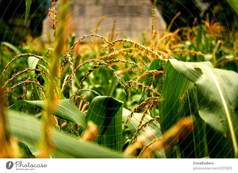 cornfield Grain Summer Nature Plant Leaf Agricultural crop Deserted Beautiful Green Life Maize Field Multicoloured Exterior shot Close-up Day