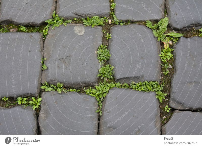 old town pavement Plant Deserted Street Stone Old Historic Lanes & trails Colour photo Exterior shot Day Cobblestones Close-up Detail Weed