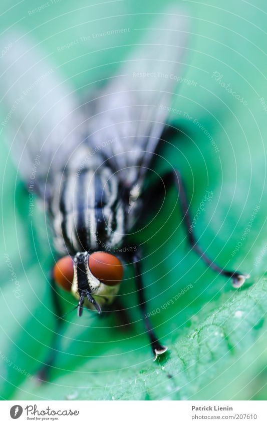 When flies fly behind flies Environment Nature Animal Fly Animal face Wing 1 Red Green Legs Compound eye Insect Near Eerie Looking Motionless Flesh fly